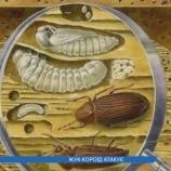 Ліси Сумщини гинуть від жука-короїда