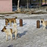 Бродячих собак в Шостке  начали отлавливать и усыплять