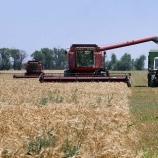 Ранние зерновые в районе планируют убрать за несколько недель