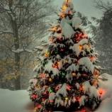 В лесничествах уже можно купить новогоднюю елку