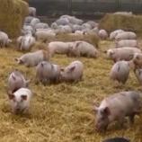 На Сумщині виявлено ще двох кабанів з підозрою на африканську чуму свиней